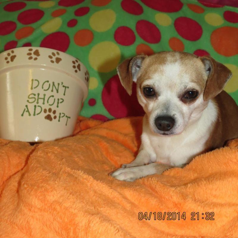 Adopt Cabana Boy Carlos New England Cm On Adoption Chihuahua