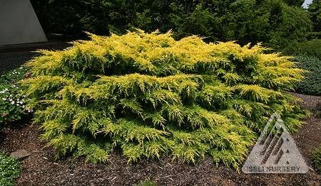 Low maintenance shrubs saybrook gold juniper for Low maintenance shrubbery