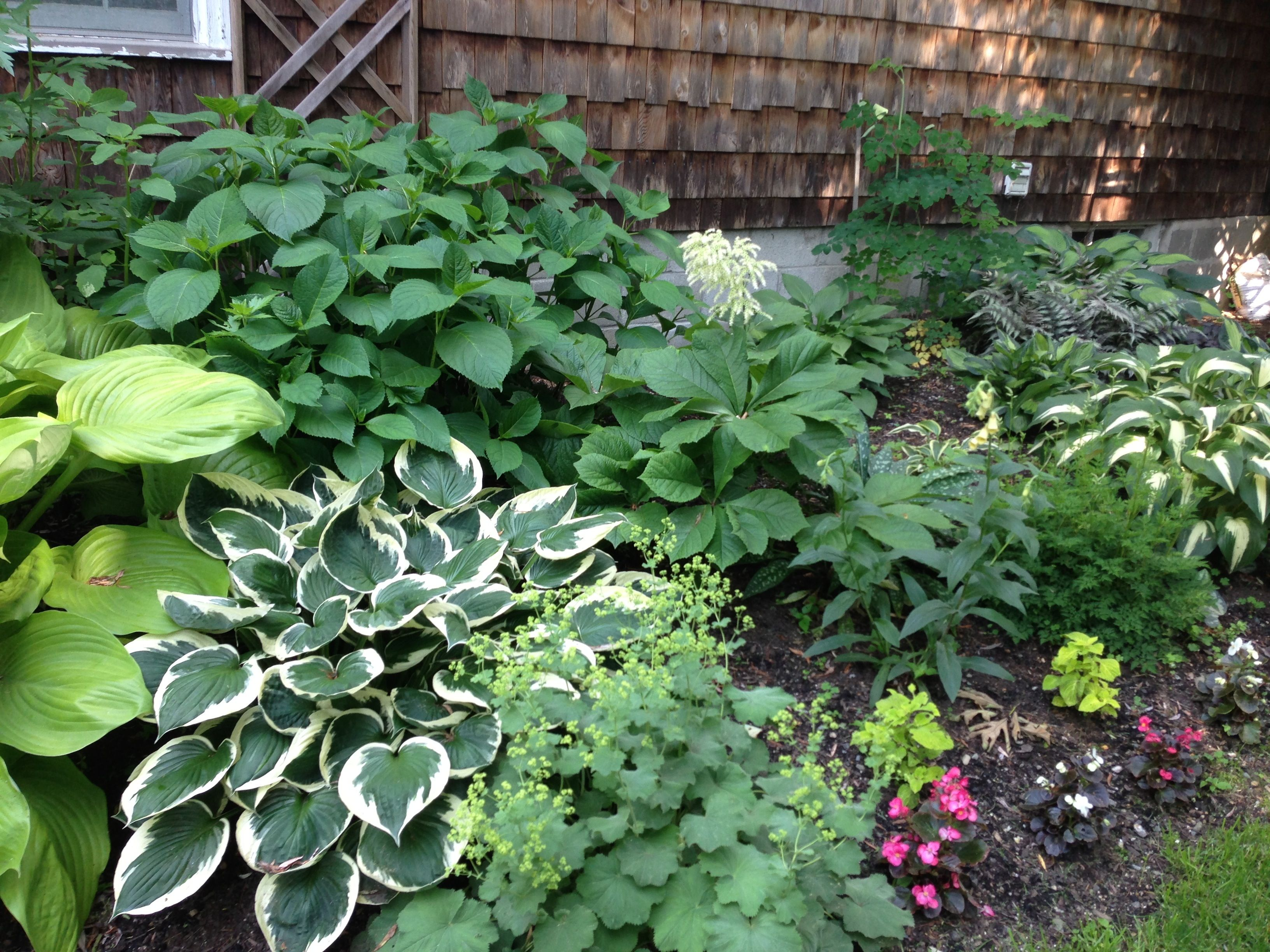 Shade Garden Hosta Hydrangea Lady39s Mantle Wax Begonia