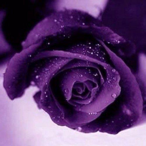 Purple Roses Names Purple Rose Purple Roses Purple Flowers