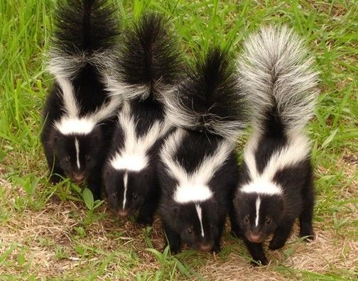 Skunks And Their Natural History Effective Wildlife Solutions Skunk Smell Skunk Repellent
