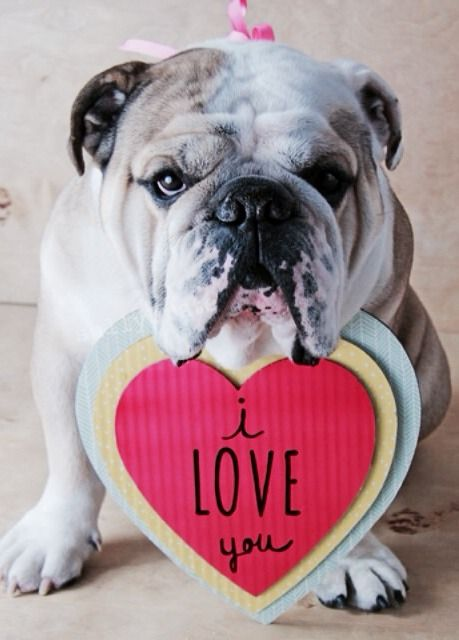 Worldofbulldog Valentine Bulldog Too Cute Bulldog Baby Dogs