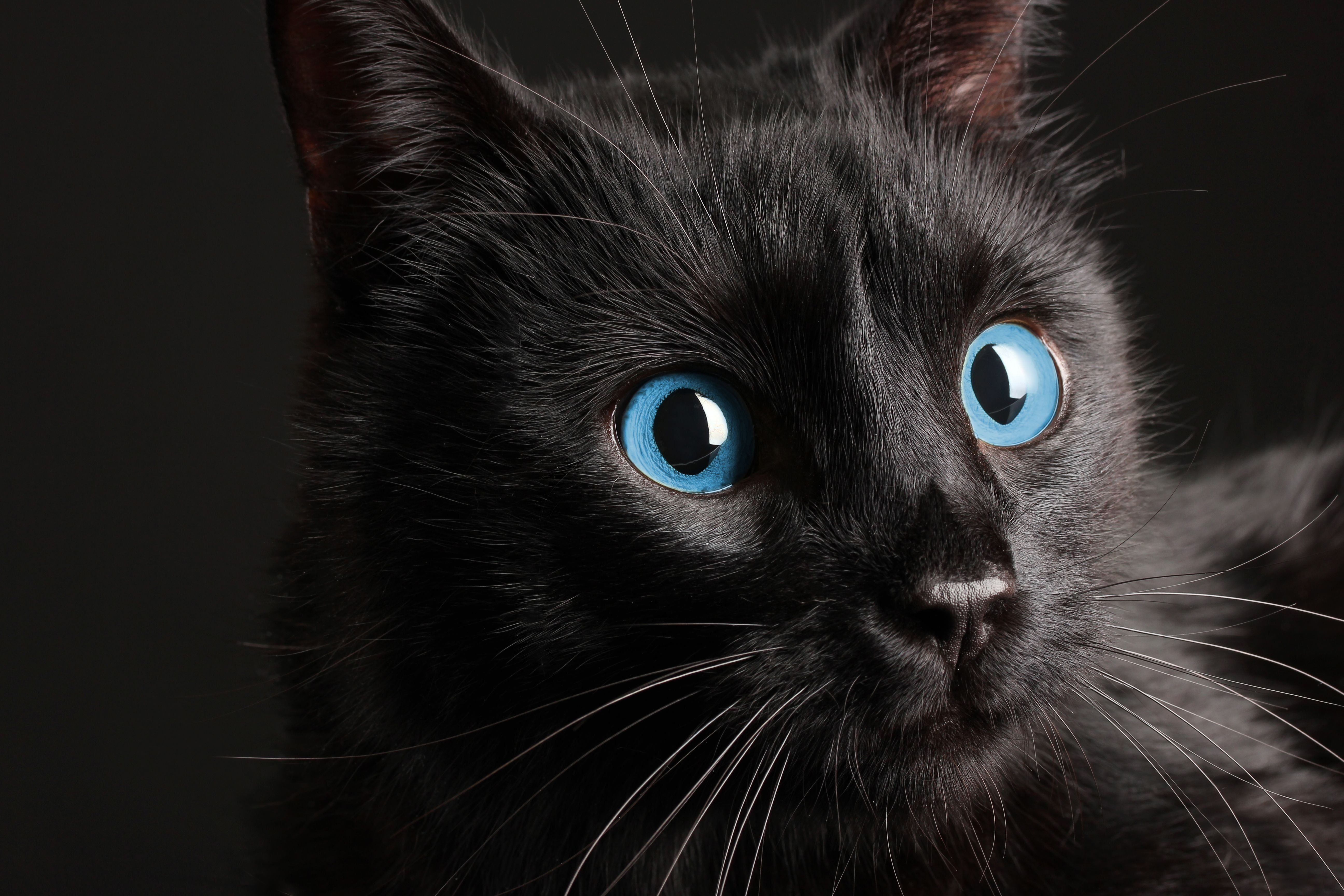 The 10 Newest Cat Breeds Black cat breeds, Cat breeds
