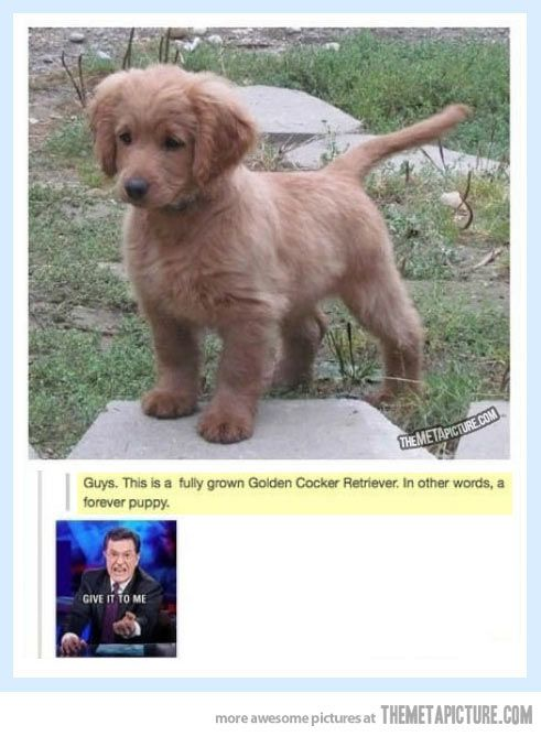 Forever A Puppy Forever Puppy Golden Cocker Retriever Golden