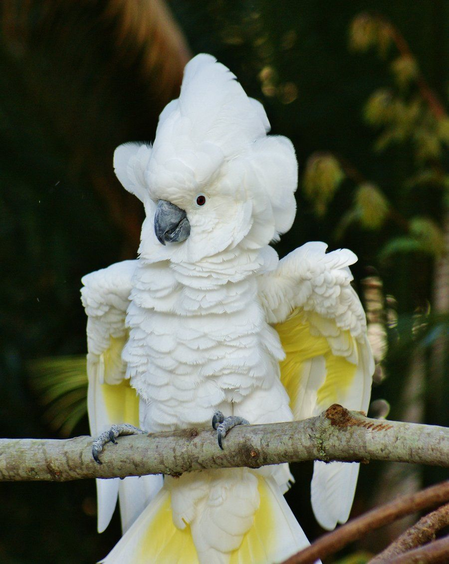 the white cockatoo also known as the umbrella cockatoo is a medium