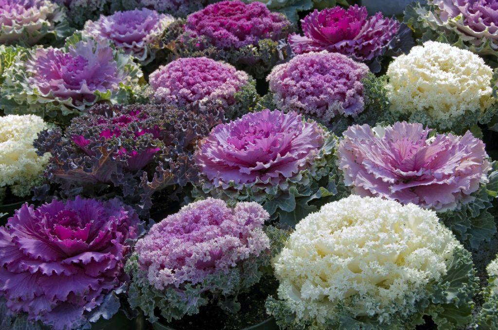 Декоративная капуста: выращивание и уход в саду ...
