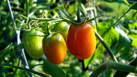 Integrated pest management practices help the gardener produce healthy tomato plants.