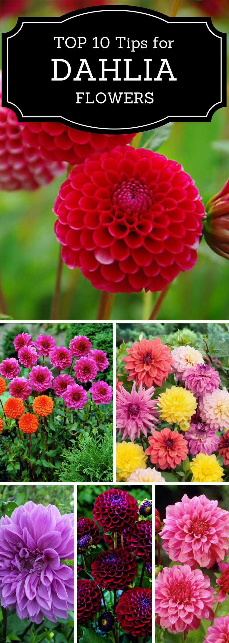 Top 10 Tips On How To Plant Grow And Care For Dahlia Flowers Top Inspired Dahlia Flower Planting Flowers Flower Farm