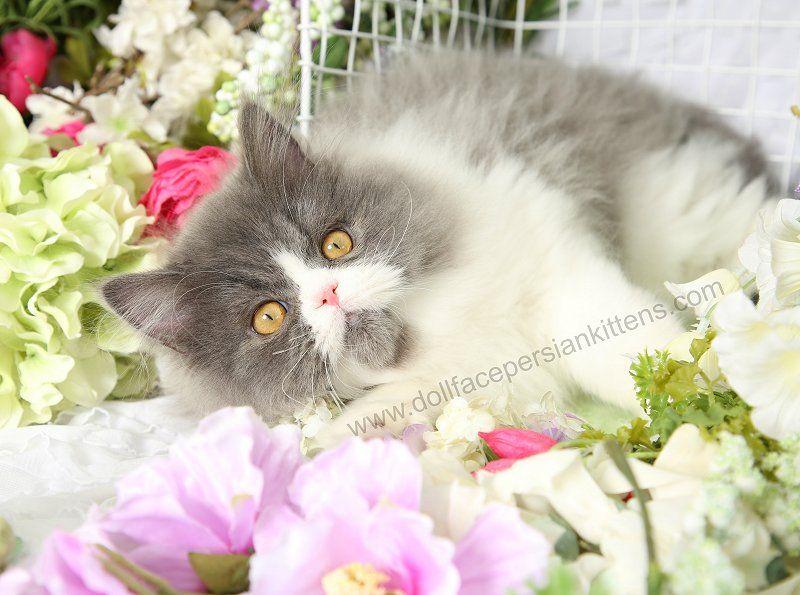 Rumble Persian Kitten For Sale In 2020 Persian Kittens Persian Kittens For Sale Beautiful Kittens
