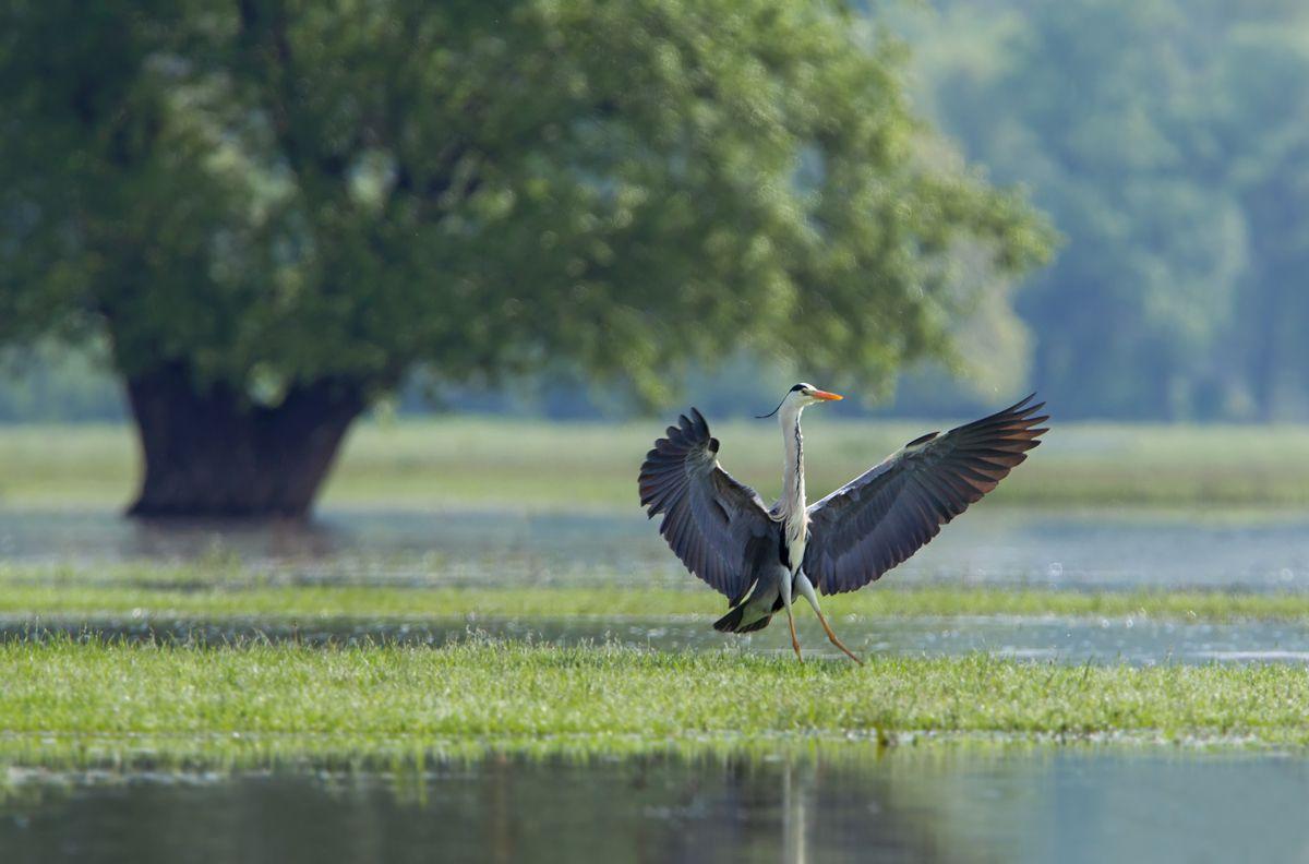 Серая цaпля #Ardea cinerea #Bulgaria #Grey heron Автор: Иван Иванов