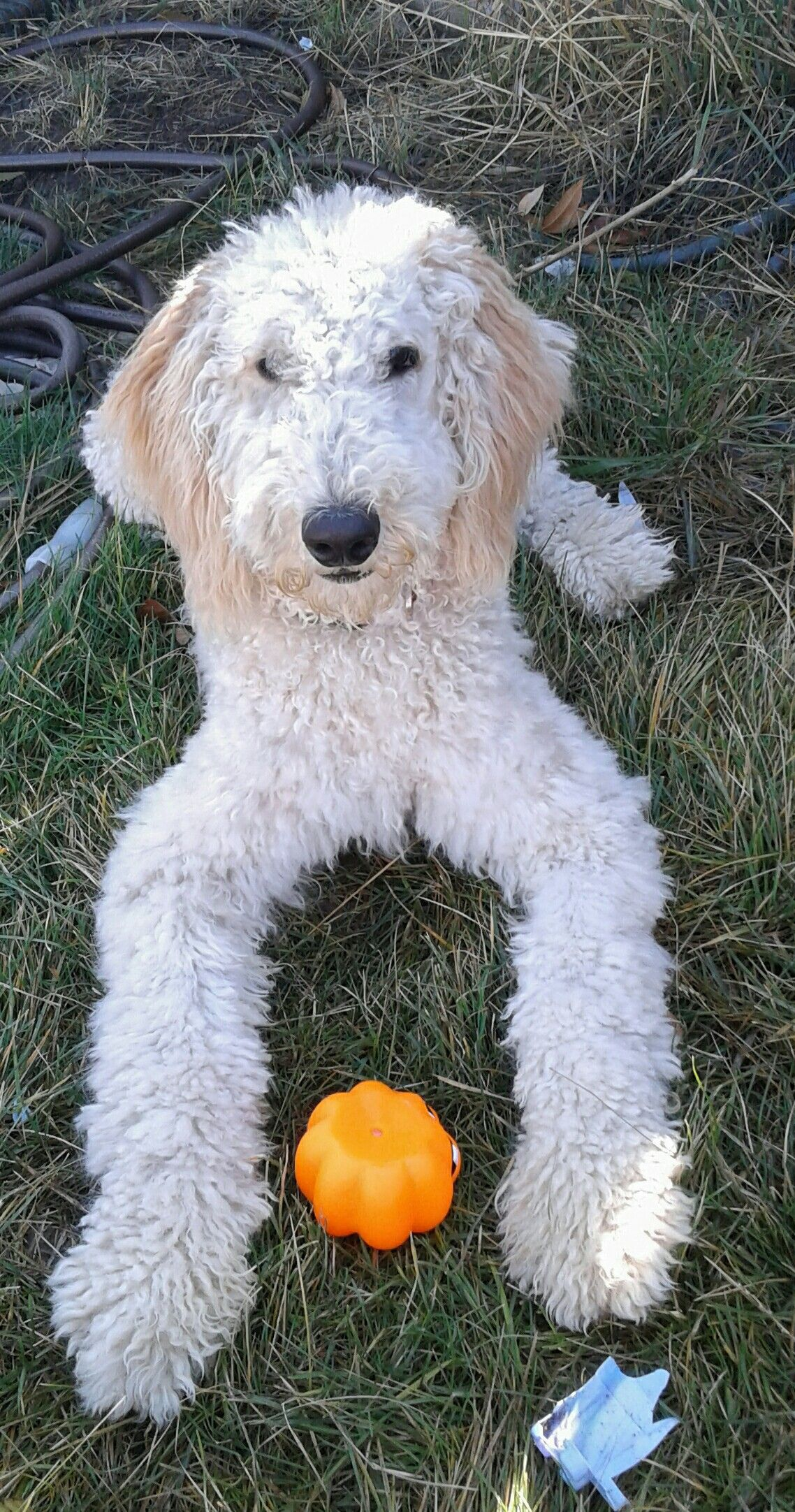 Teddy Stud Services Akc Pure Bred Poodle He Comes With A Pedigree Teddy Pure Bred Poodle