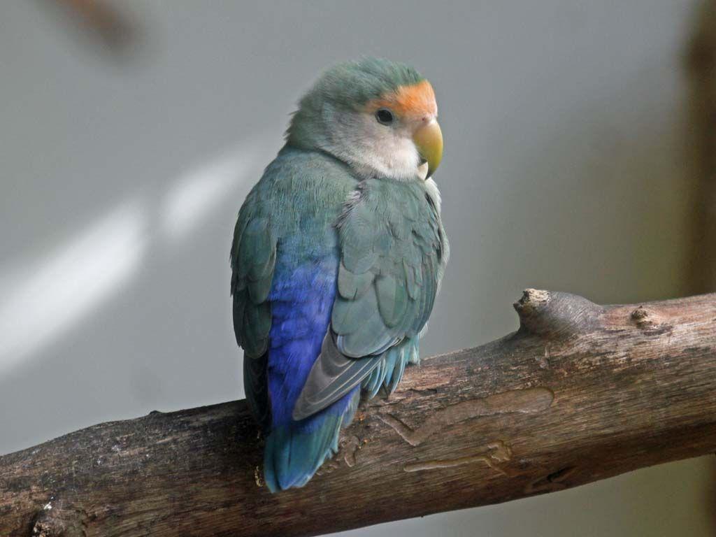 Lovebird, Peachfaced blue morph PJ.jpg 1,024\u00d7768 pixels