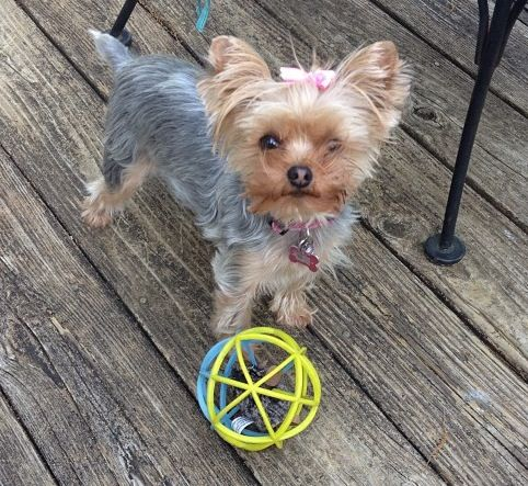 Lets Play Yorkie Laci Is Soooo Cute Especially With The Fetch Ribbon In Her Hair Www Fetchdogfashions Com Puppy Dog Dogclothing Dogapp Dog Boutique Yorkie Pet Boutique