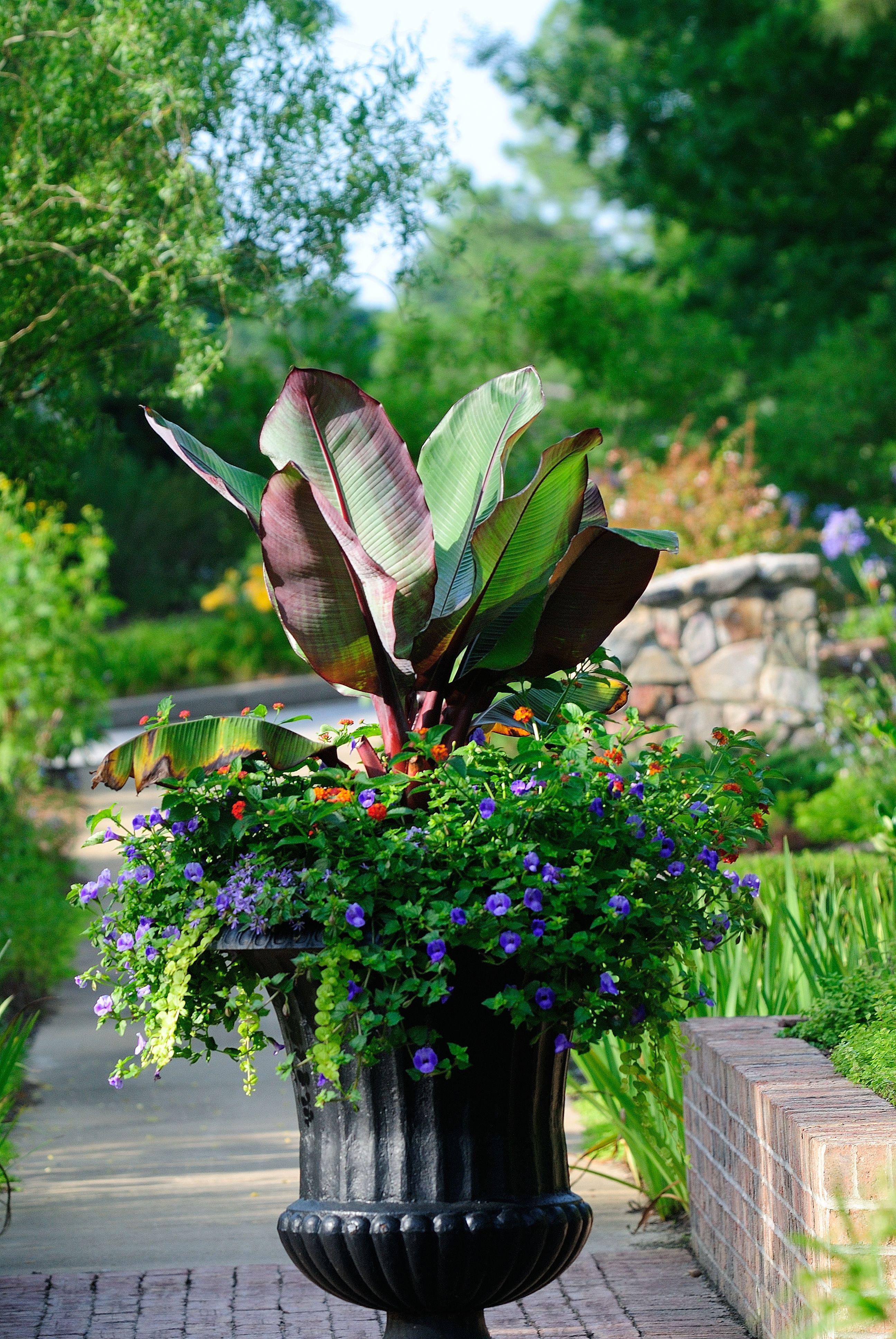 Thriller plant red abyssinian banana ensete ventricosum for Good filler plants for landscaping