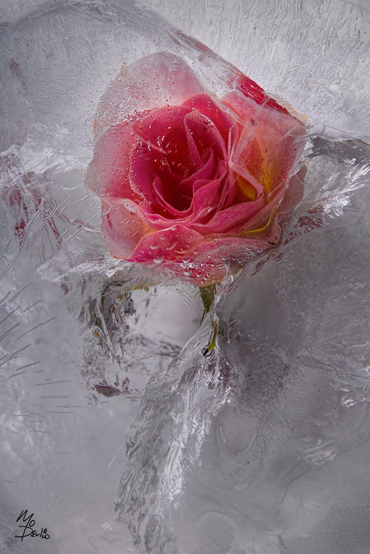 Frozen Flowers Ice Rose Flowers Photography Flower Ice Flower Art