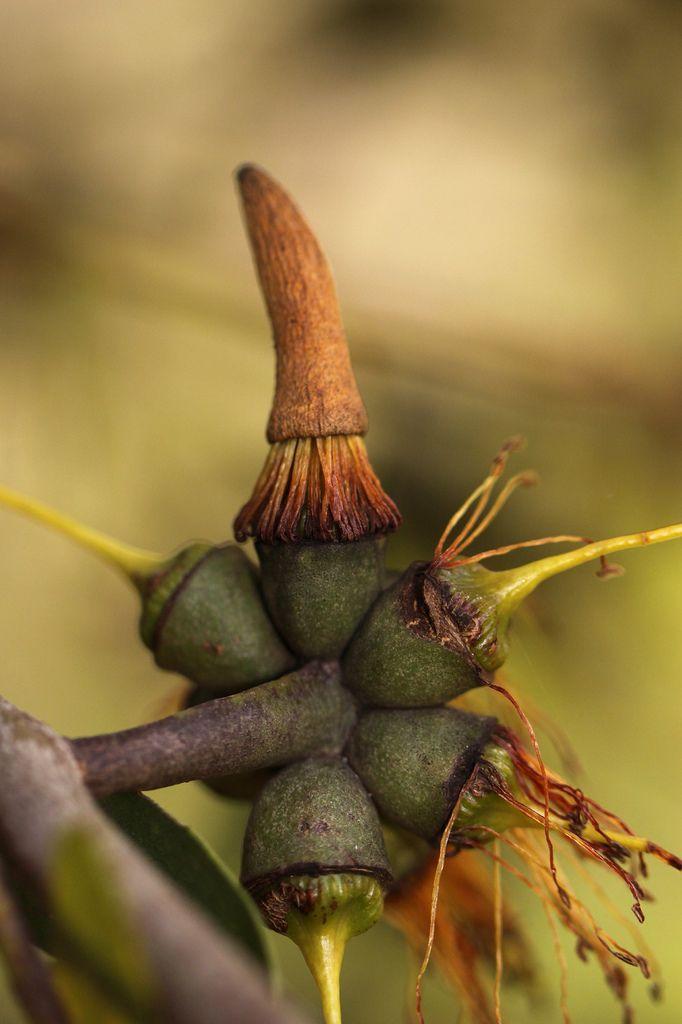 Eucalyptus Seed Pods by kasia-aus - Katarina Christenson                                                                                                                                                                                 More