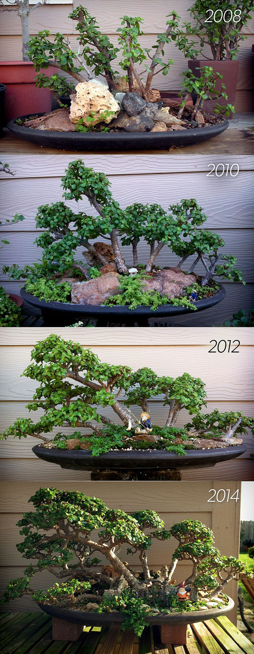 Portulacaria afra (dwarf jade) bonsai forest started from a garden center plant. 6 years in training. The first picture shows how I started the group using rocks to keep the trunks upright. Then for the next few years I constantly pruned to achieve the overall shape. The last picture shows the group in April 2014. Still nowhere near complete but that's the best part of bonsai. It's never finished.