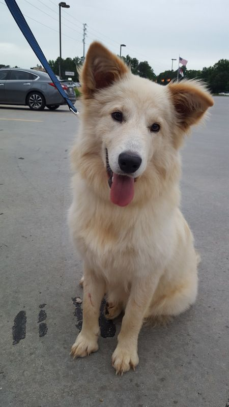 Callisto Is A Female Dog Golden Retriever Mix Located At Paws