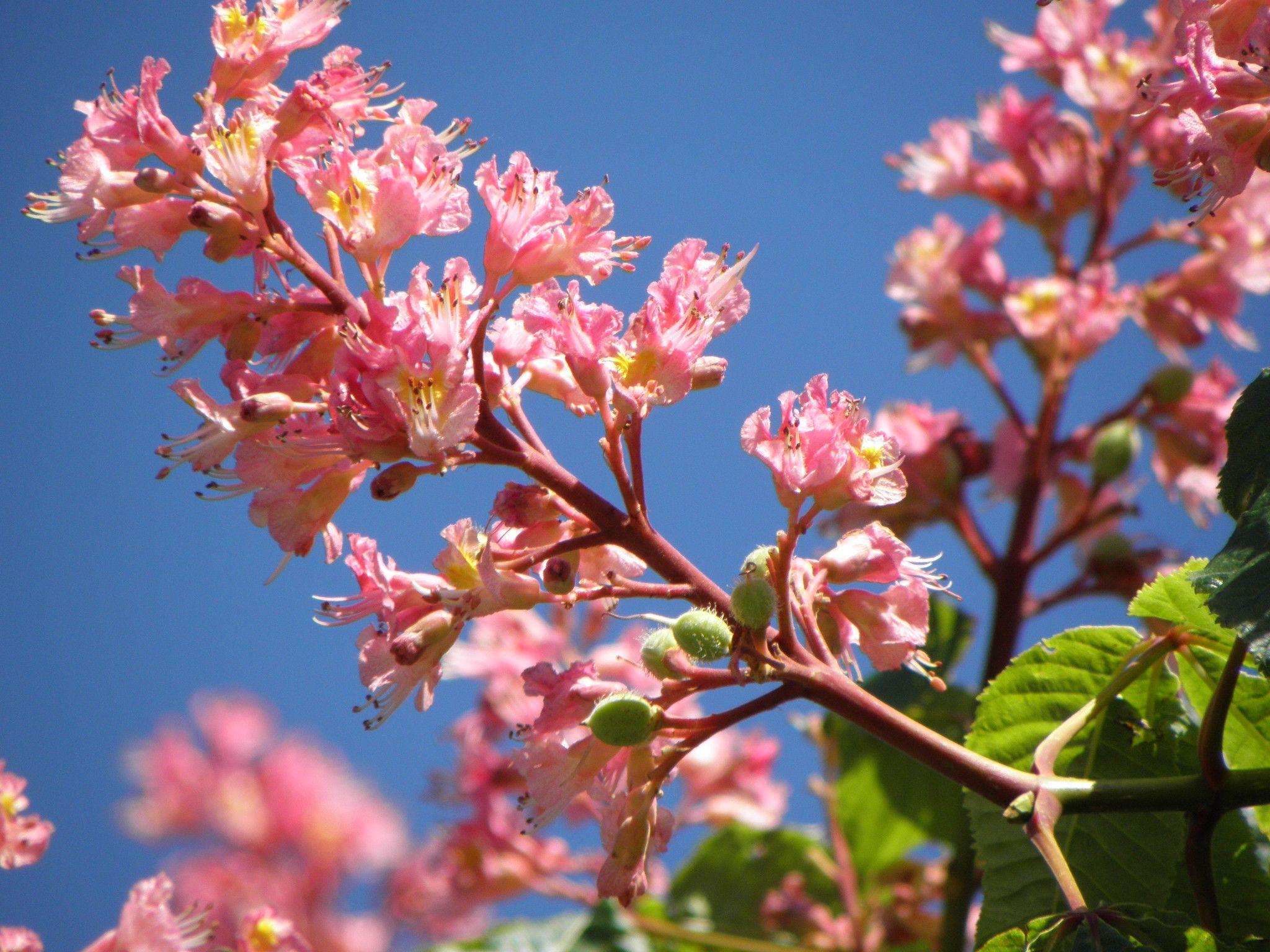Red horse chestnut blossoms pinterest