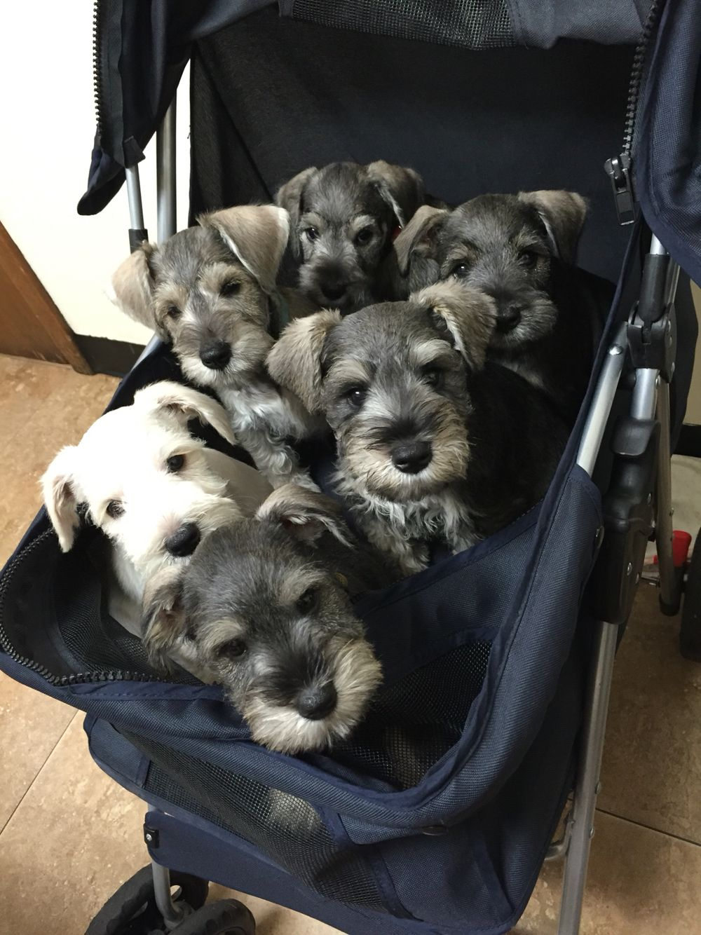 A stroller full of love! Perros snauzer, Perros