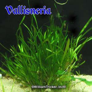 Vallisneria Oxygenating Plant William Tricker Inc Freshwater Plants Planted Aquarium Nature Aquarium