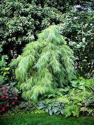 Image Result For Dwarf Weeping White Pine Gardening Evergreen