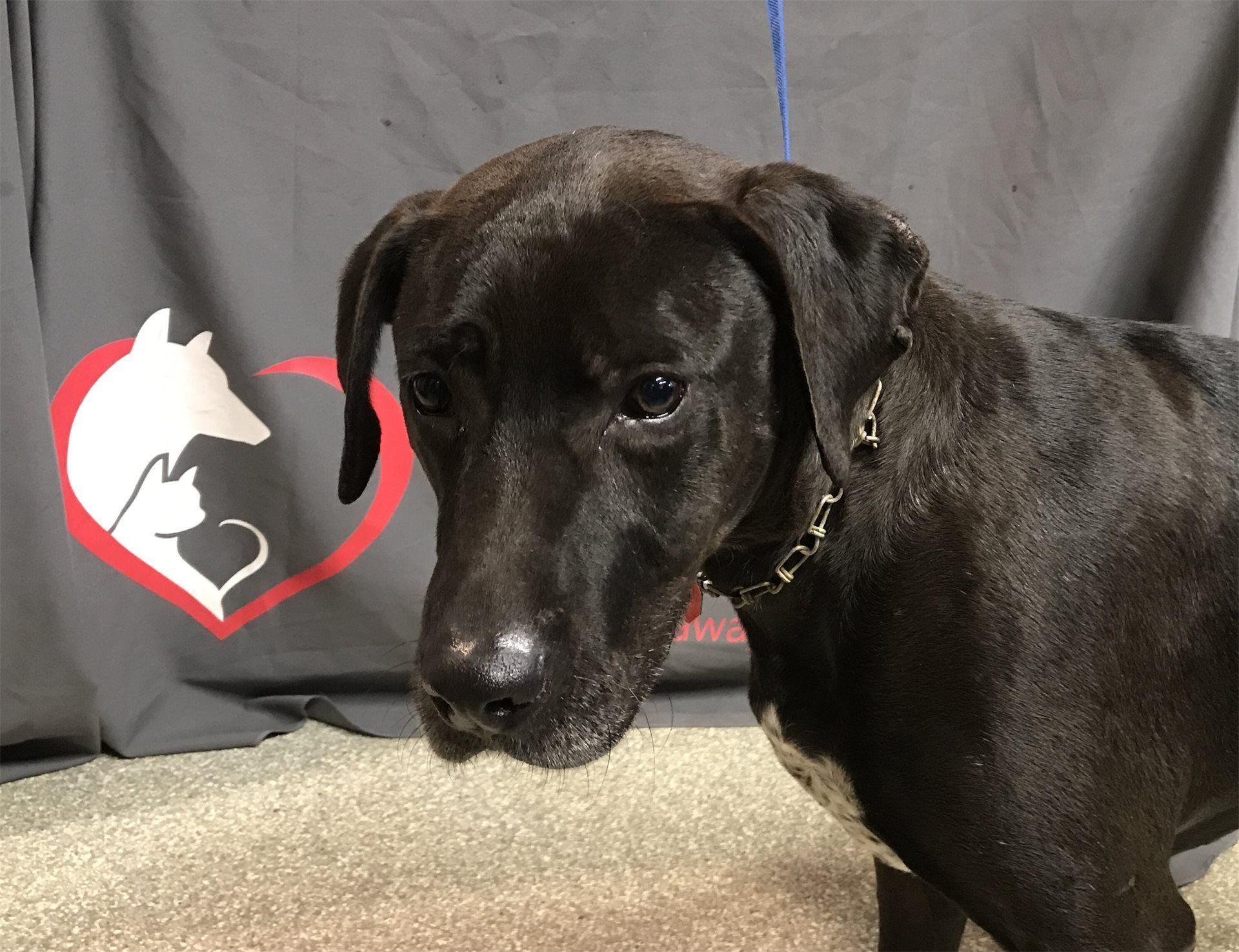 Labrador Retriever dog for Adoption in pomona, CA. ADN