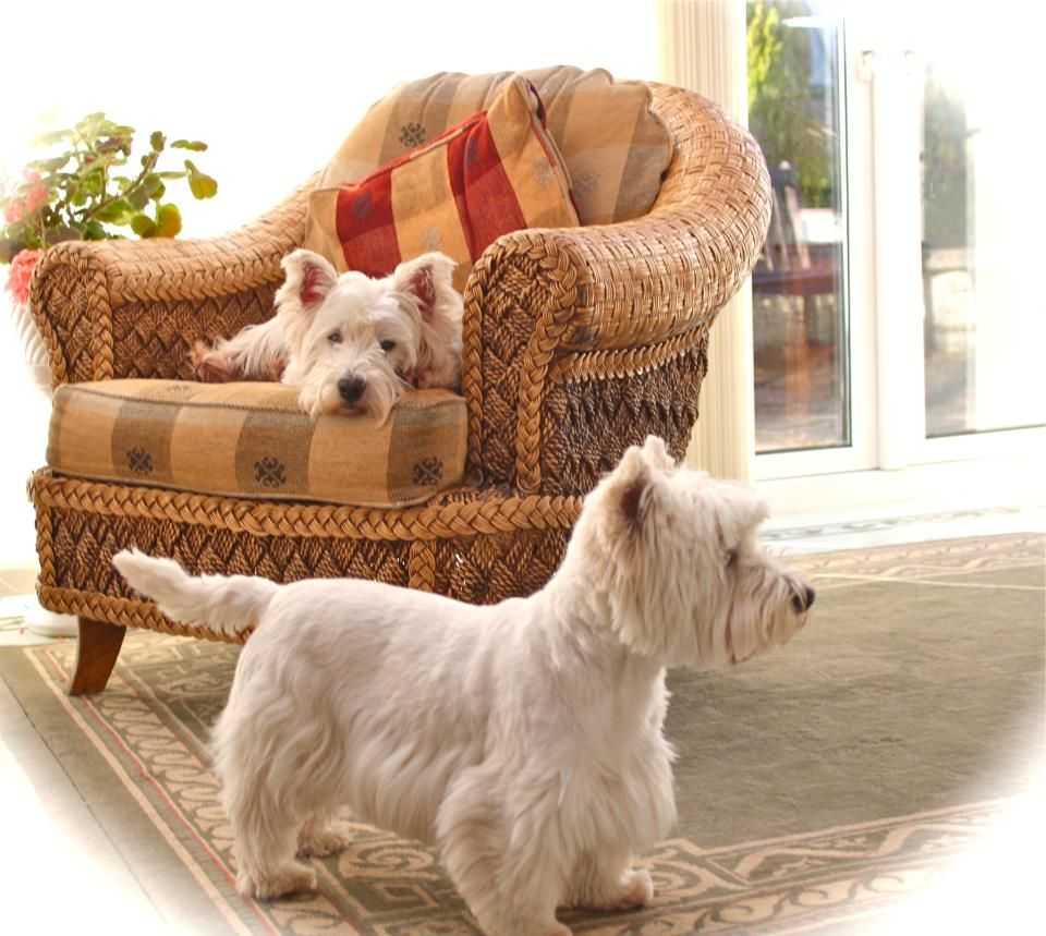 On The Look Out For Others West Terrier Westies West Highland Terrier