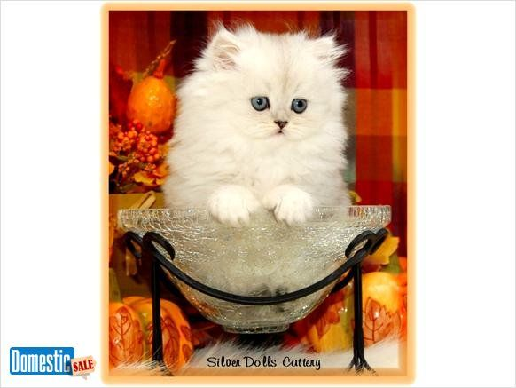 Teacup And Toy Size Persian Kittens For Sale We Are A Small Cfa Registered Cattery Offering Some Of The Most Beau Persian Kittens Teacup Kitten Kitten For Sale