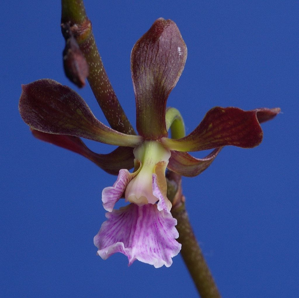 Encyclia hanburyi flowers and plants