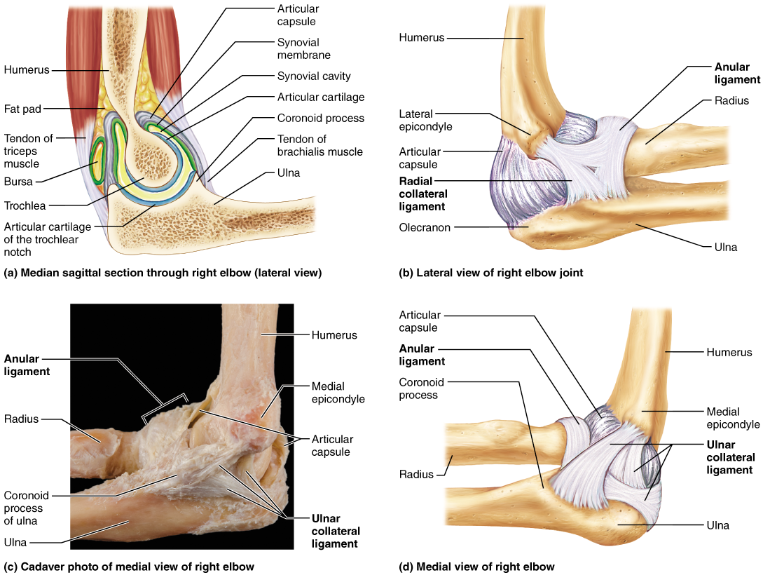 Right Elbow Joint   www.topsimages.com