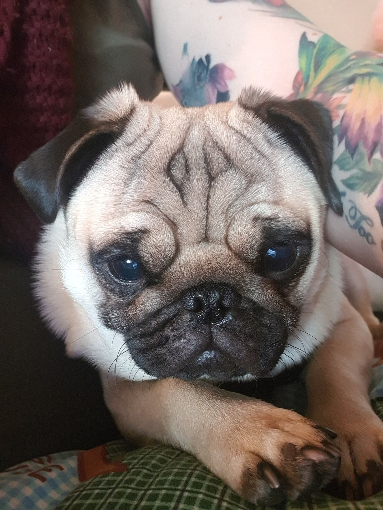 My Pug Boycie Pug Love Pugs Pug Love French Bulldog