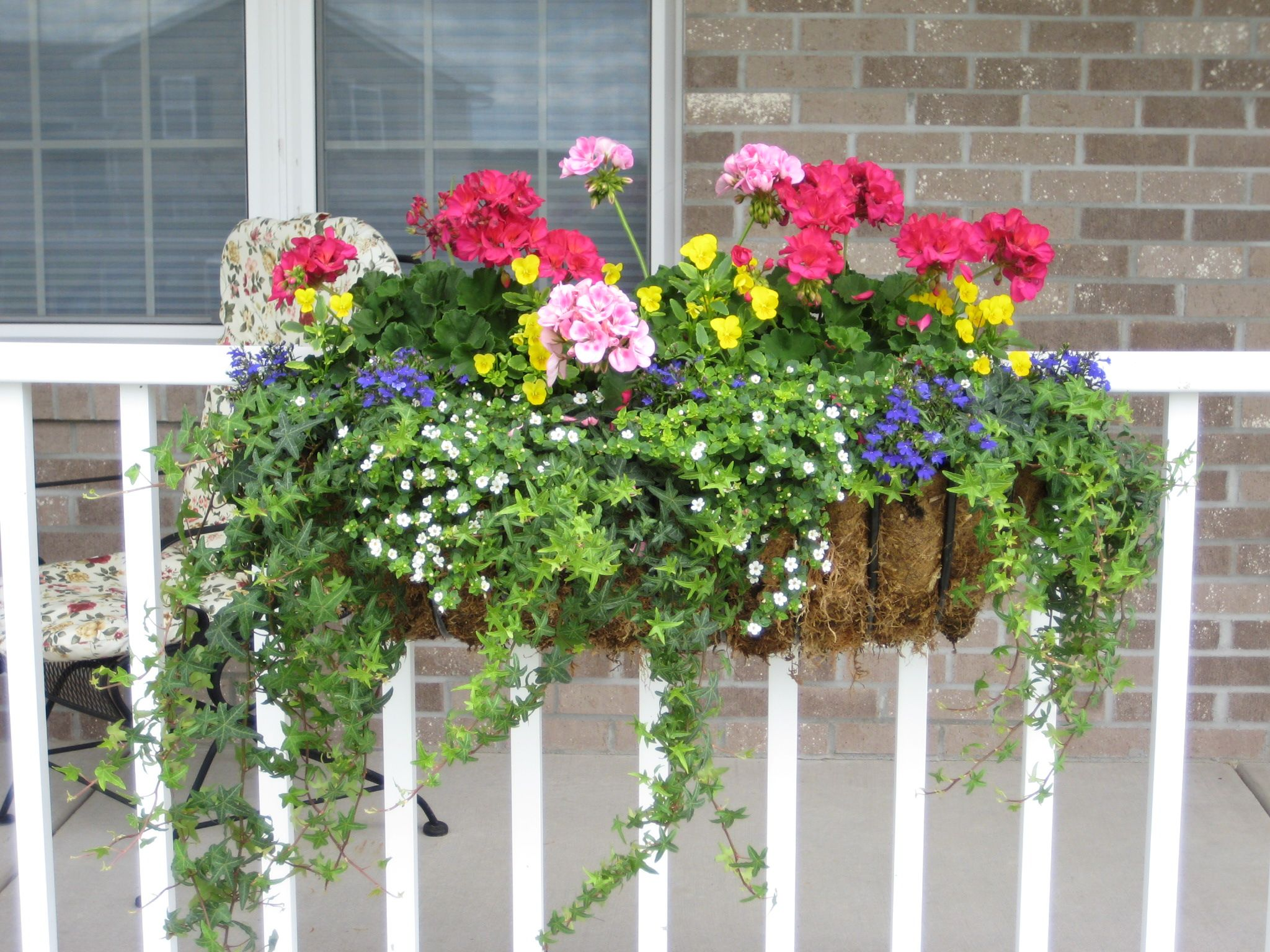 container planting: gotta love hearty geraniums, ivy, yellow mini