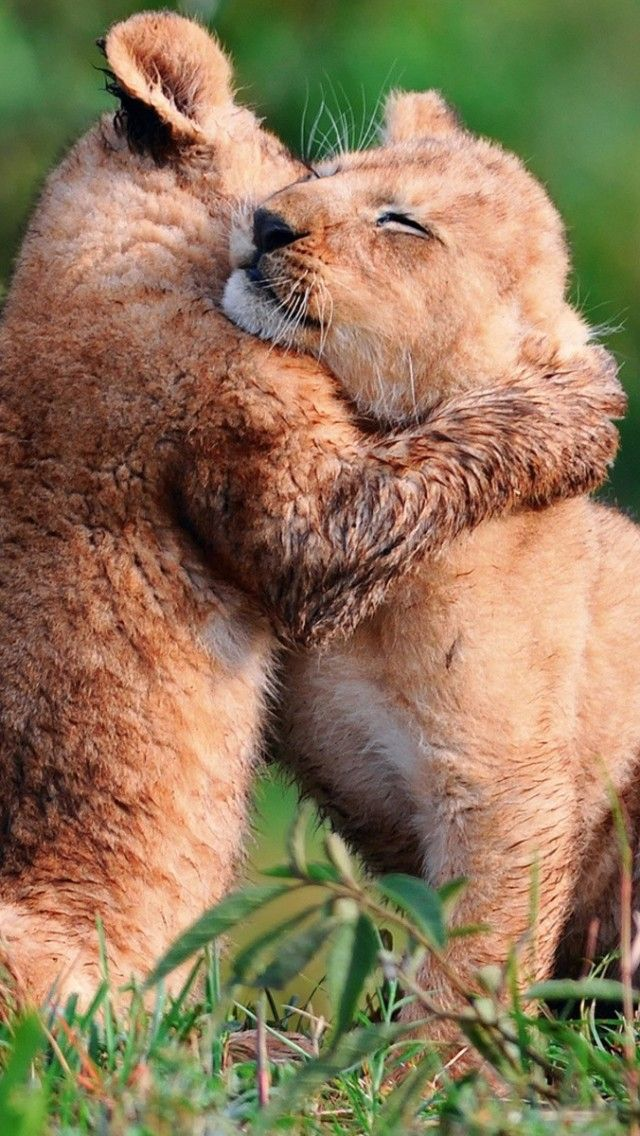 #Lions #Cubs Playing Baby #Animals #Wallpaper | Animals ...