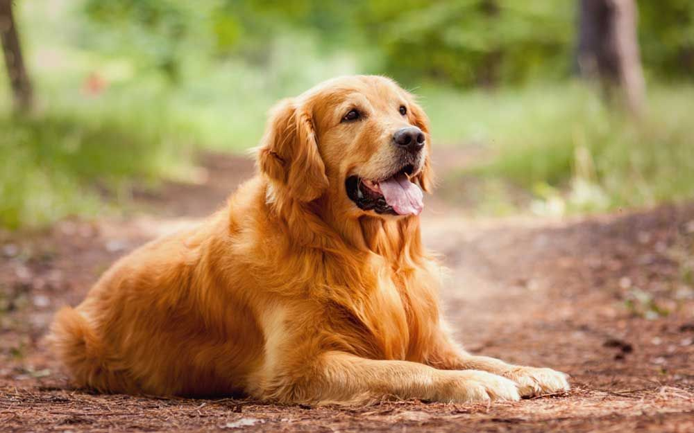 How To Pick The Best Dog Breed For You Dogs Golden Retriever