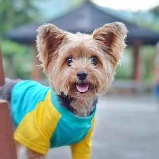 Kintai, the Hecka Fashionable Yorkie | 20 Up-And-Coming Pets You Need To Follow On Instagram Before They Get Famous