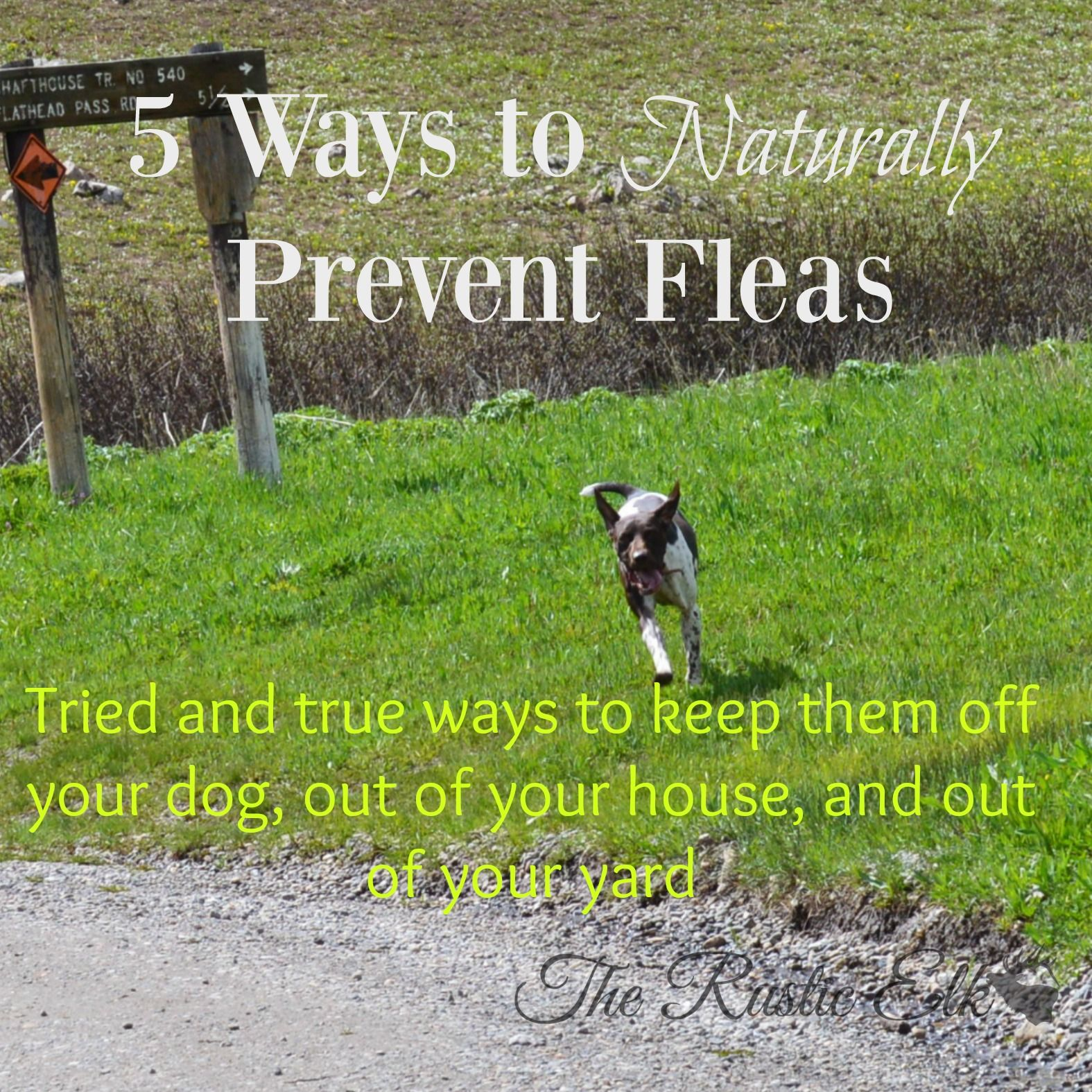 Fleas a nuisance? Here are 5 tried and true