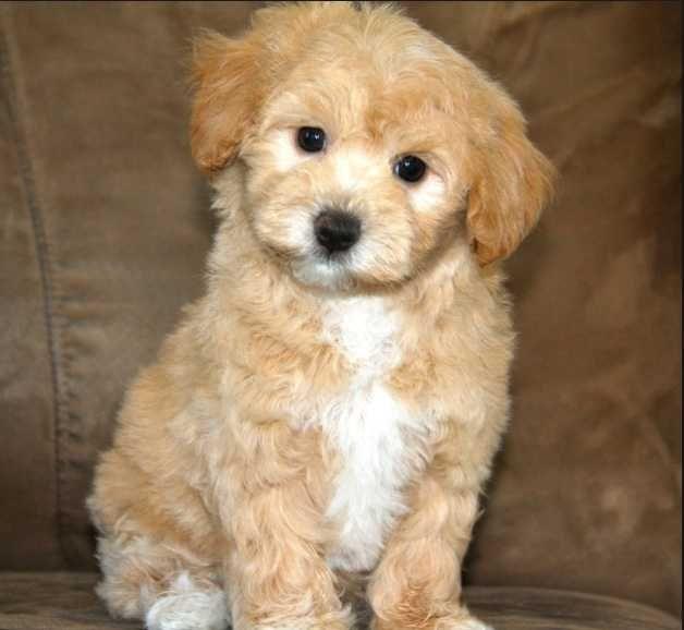 teacup maltipoo full grown#dogs #Maltipoo #cute dogs # ...