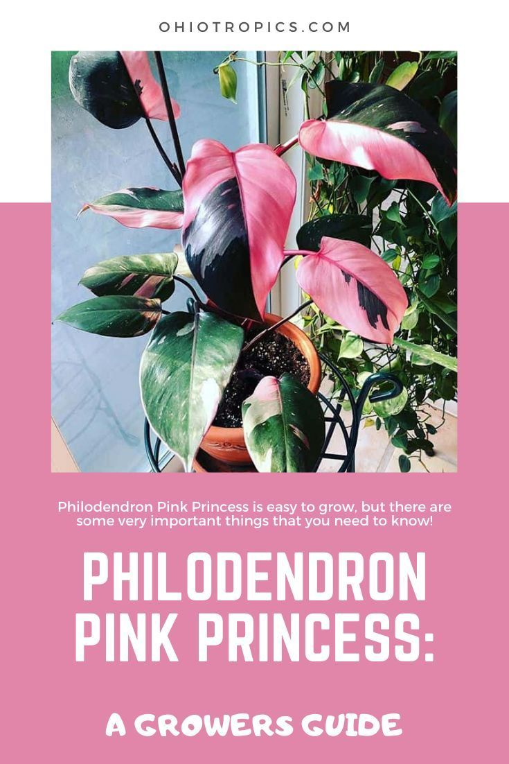 Philodendron pink princess a grower s guide