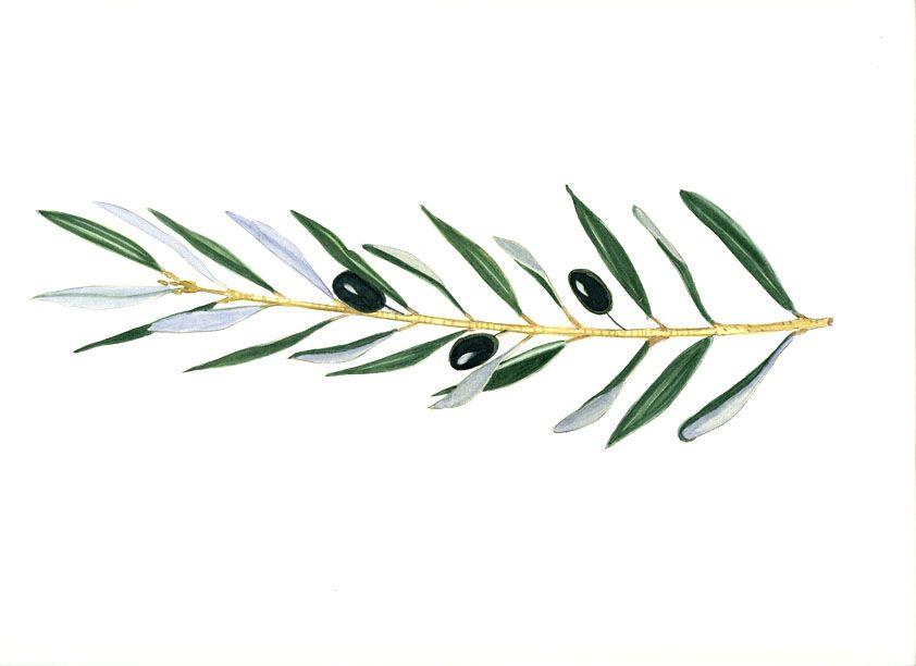 Delicate Olive Branches Design Clipart Dessin