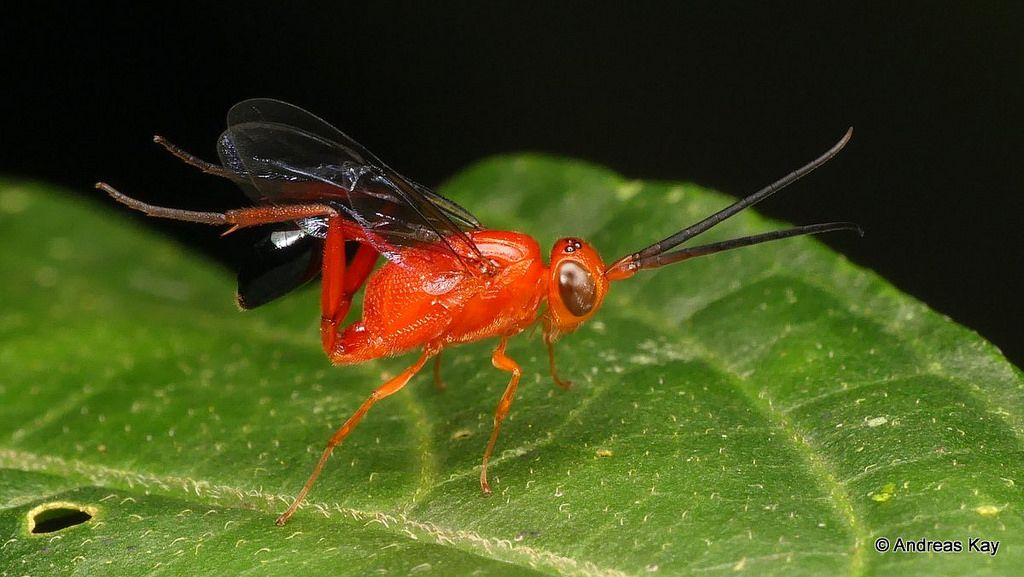 Ensign Wasp Waves Its Abdomen Like A Flag Wasp Insects Abdomen