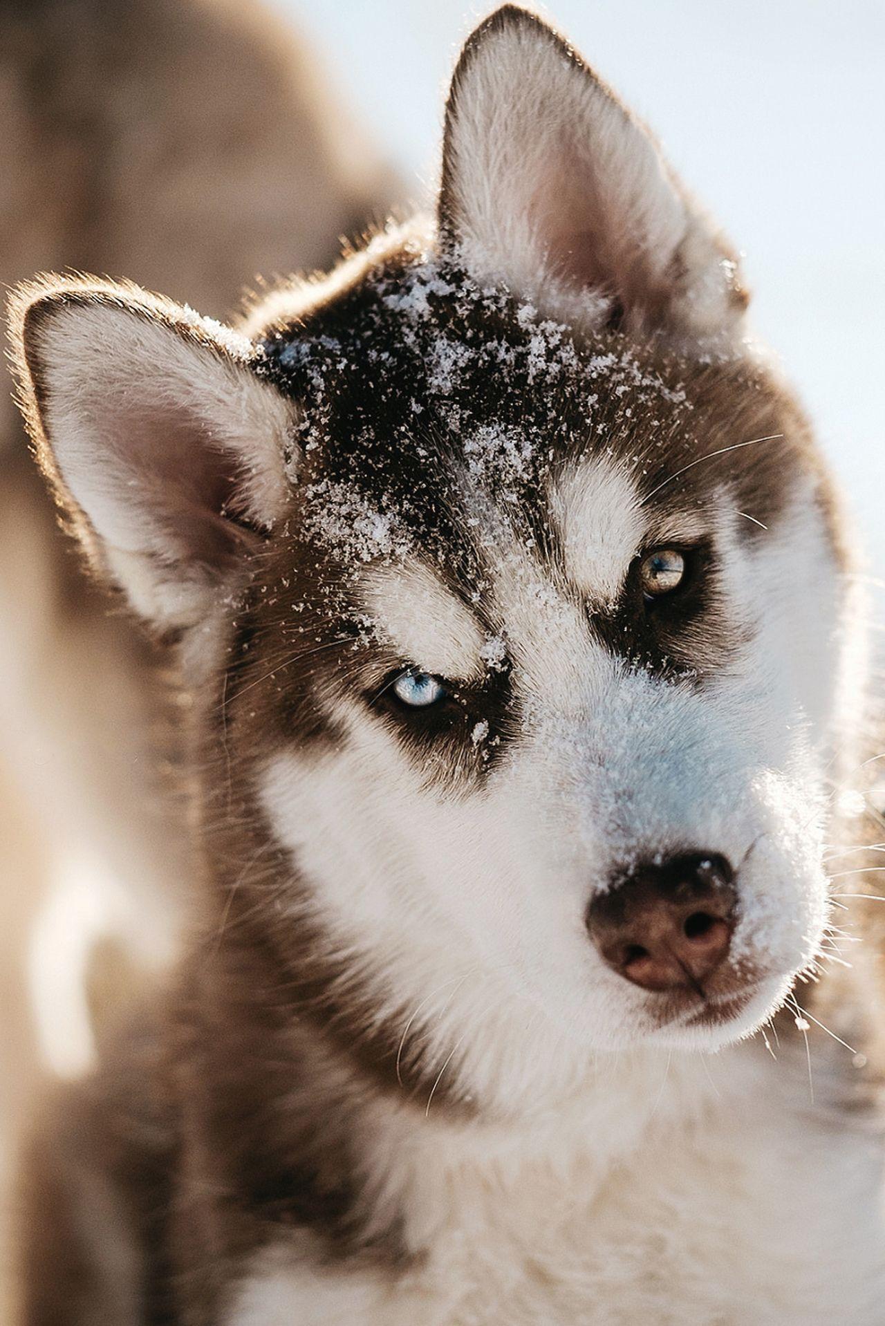 souhailbog: Husky Puppy in Snow | © Jesse James