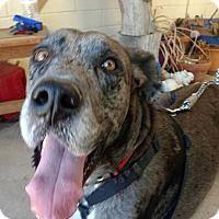 Adopt A Pet Rocky Mesa Az Great Dane Pets Great Danes