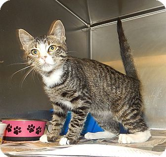 Pictures of Dutches a Domestic Shorthair for adoption in
