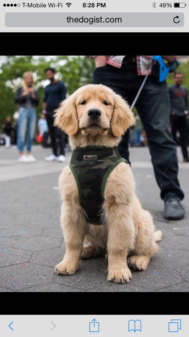 Major // The Dogist Golden retriever, Retriever, Dogs
