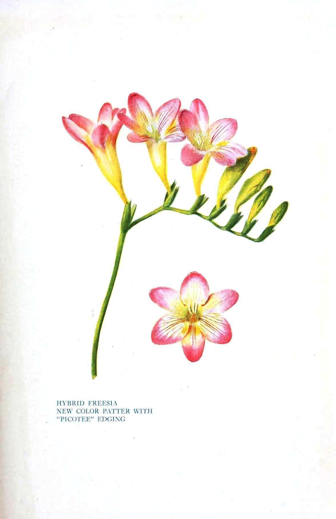 Botanical Flower Freesia New Type Botanical Flowers Botanical Illustration Watercolor Watercolor Flowers Tutorial
