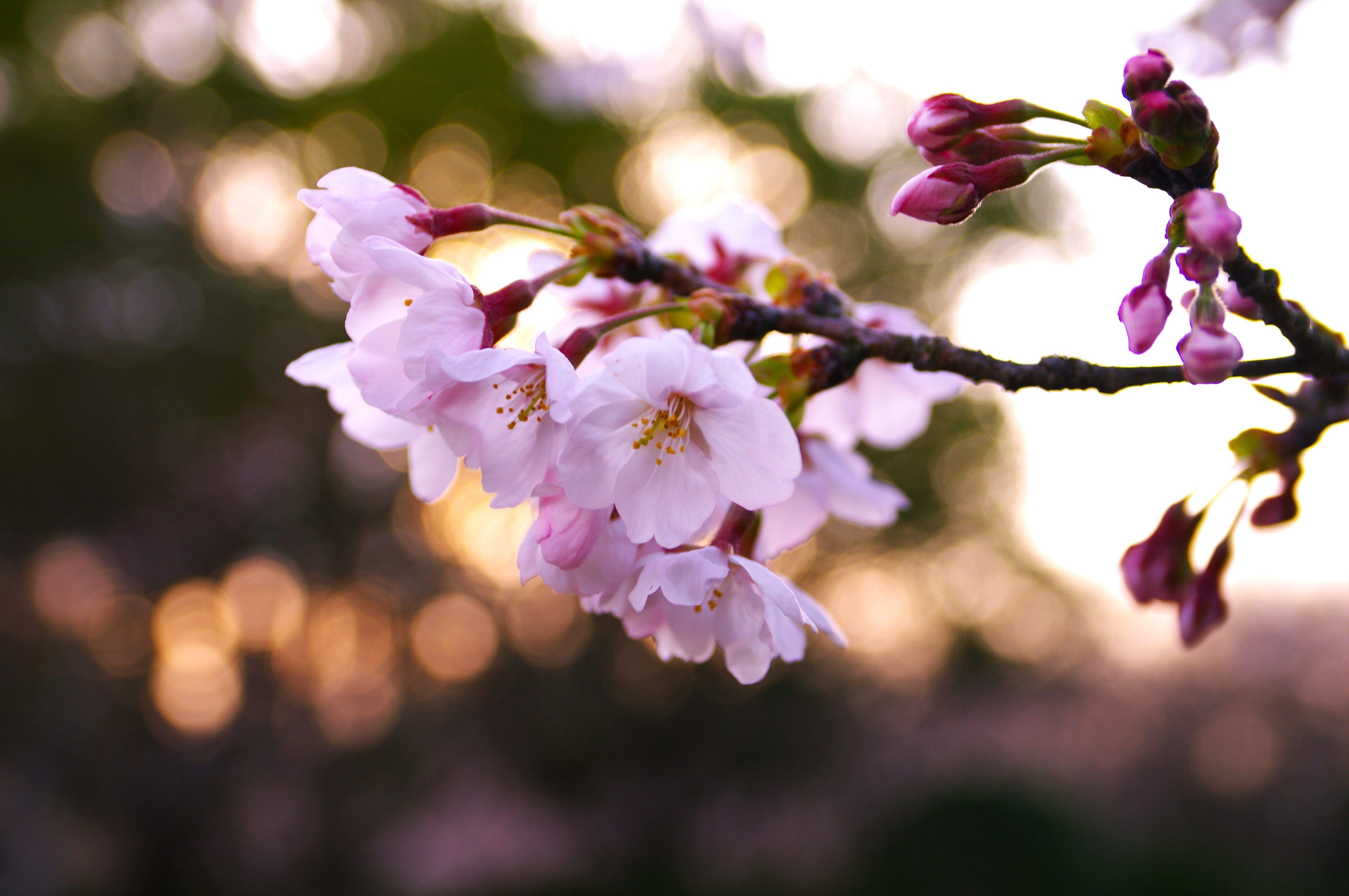 одежда цветы вишни фото картинки итоге получите яркое