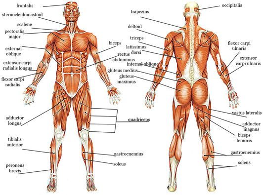 Picture Reference Pinterest Human body systems, Body systems - muscle chart template