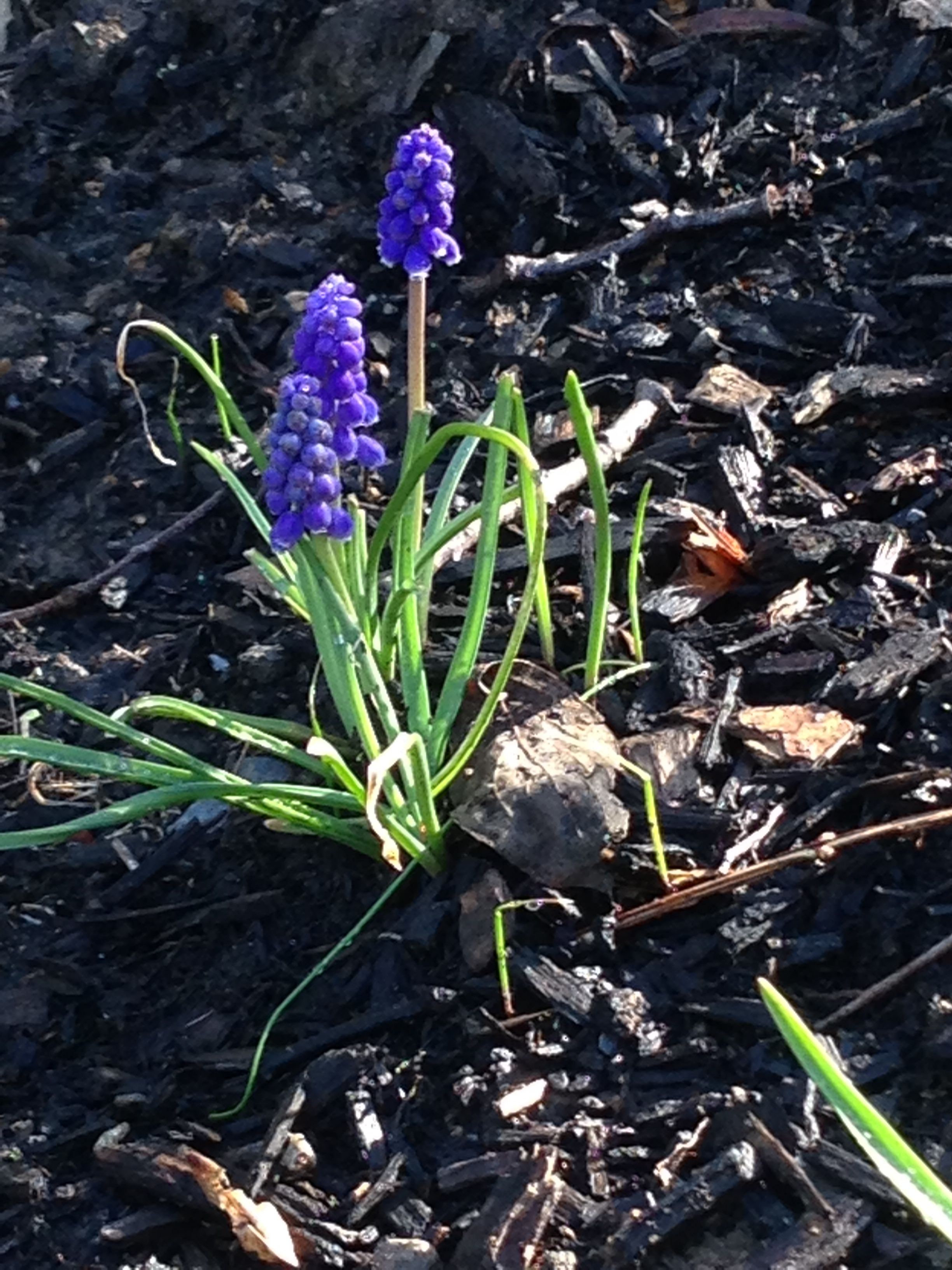 Spring 2014 - Grape Hyacinth bulbs in bloom.  Another welcome sign of spring after a long harsh winter.