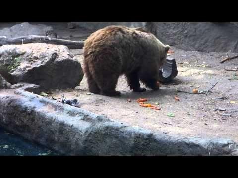 Bear saves a crow: Bear saving a crow from drowning.